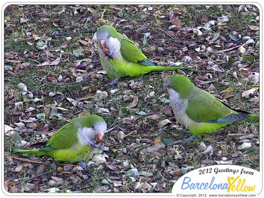 Green parrots Barcelona are called Monk parakeets